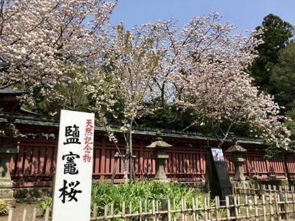 神社の桜鹽竈
